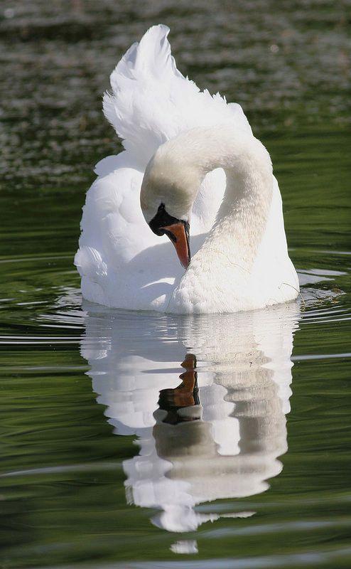 3737166b5bb6e4ba20b5a807616c1ef6--beautiful-swan-beautiful-birds
